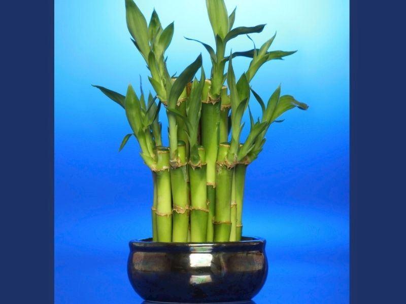 Evde Bambu Nasıl Yetiştirilir: Bambu Yetiştirme Yöntemleri