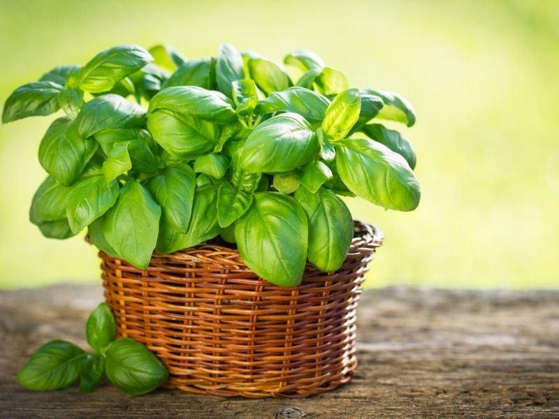 Fesleğen Hangi Yemeklerde Kullanılır?
