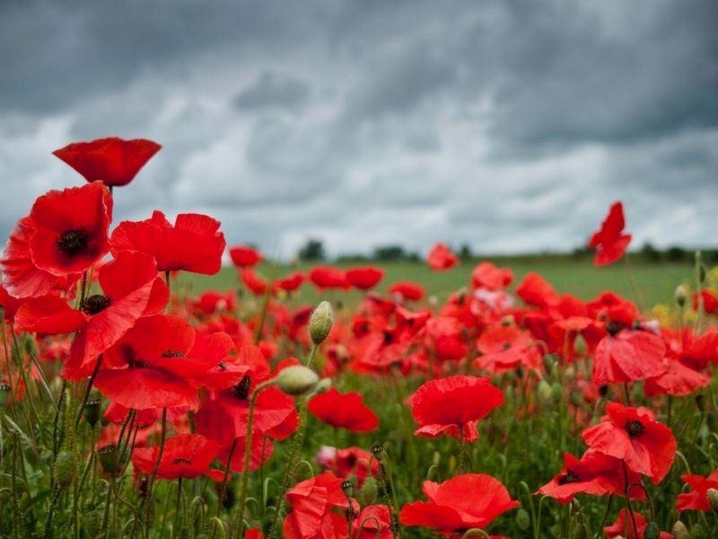 Gelincik Çiçeğinin Faydaları Nelerdir, Nasıl Tüketilir?