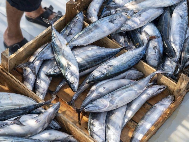 Palamut Balığı Nasıl Temizlenir? Palamut Ayıklama Teknikleri