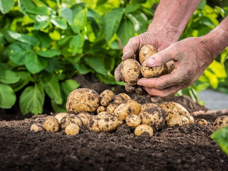 Patates Yetiştiriciliği: Evde Patates Ne Zaman ve Nasıl Ekilir?