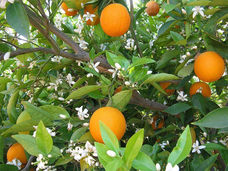 Portakal Çiçeği Festivali yeniden
